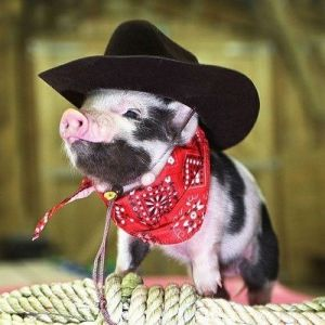 And here's a teacup pig dressed as a cowboy